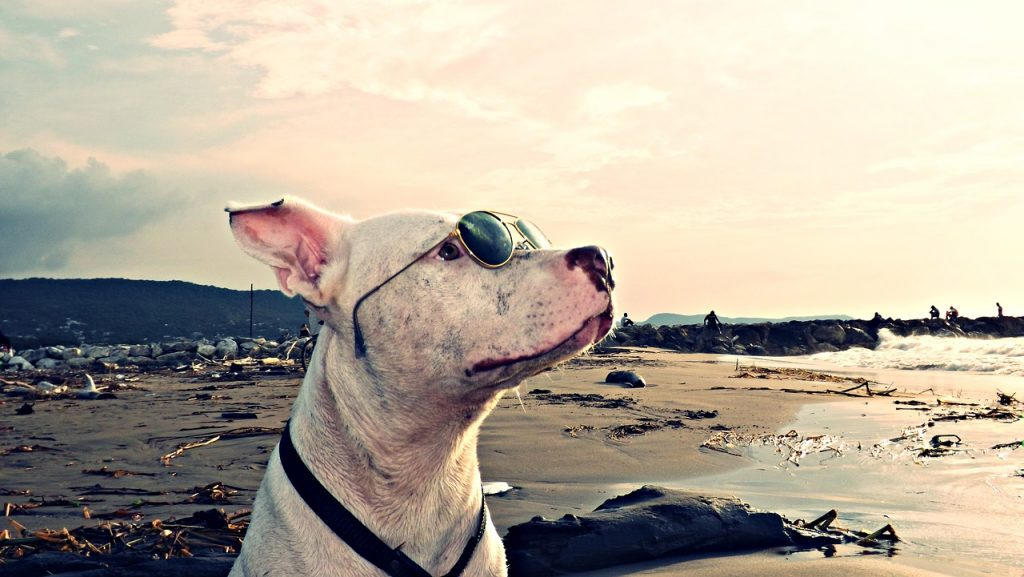 Love-A-Bull: Pitbull Rescue and Adoption South Africa